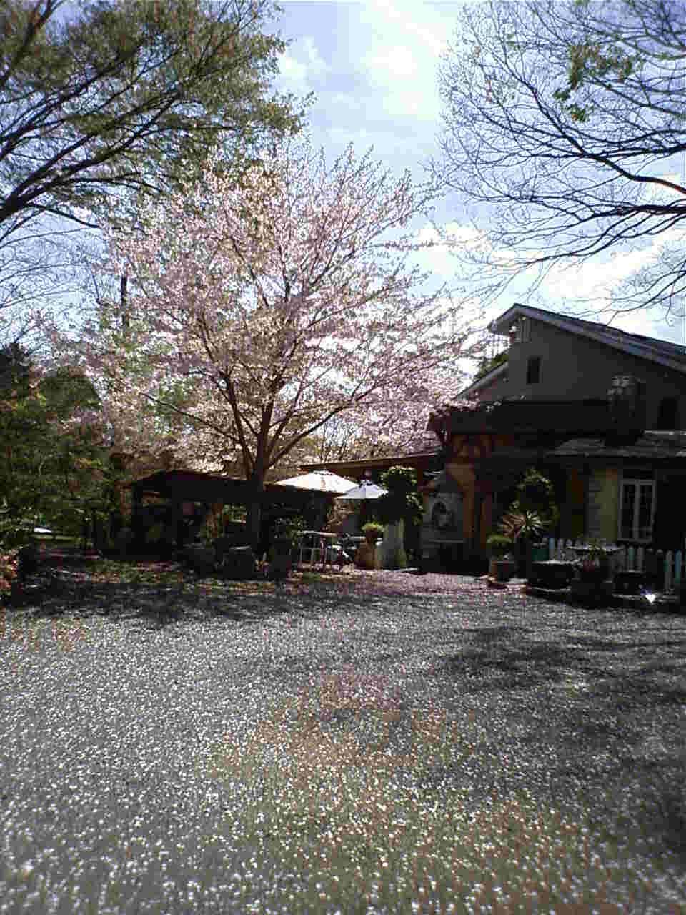 春はあちこちに桜が咲きます