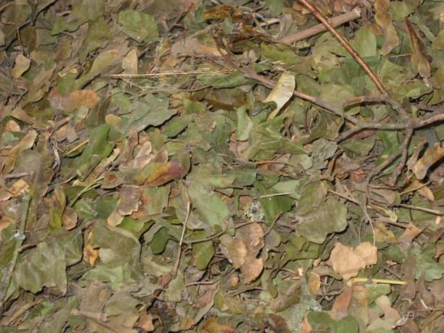Graines d'érables champêtres