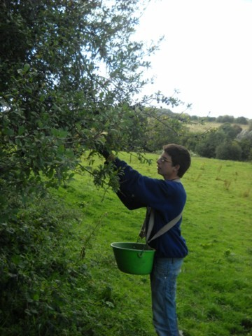 Récolte de prunelles dans le bocage