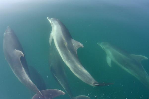 Delfini nel Golfo di Taranto ( Foto dello Ionian Dolphin Project )
