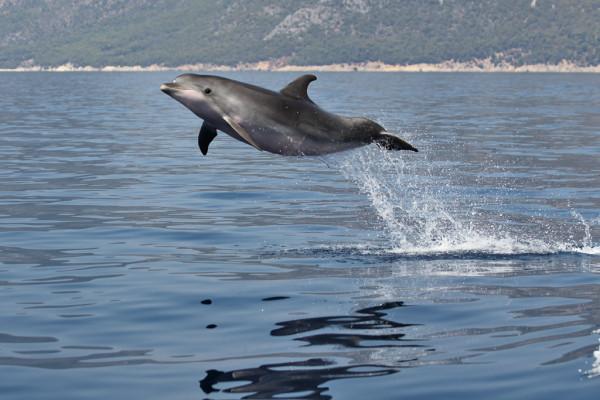 Dolfijn in de golf van Taranto ( Foto van het Ionian Dolphin Project ).