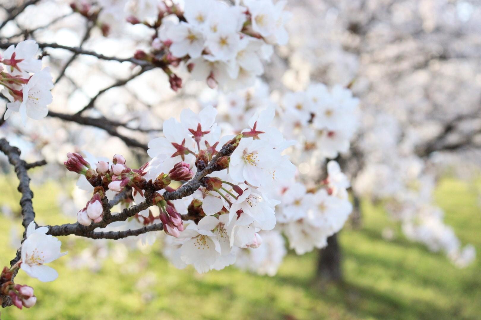 今年の桜は早咲き