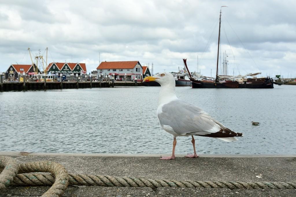 Zilvermeeuw (Texel)