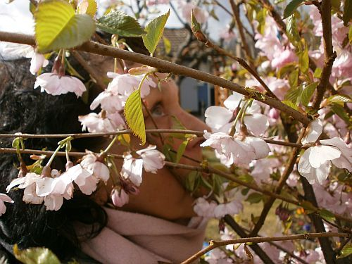Die Zierkirschenblüten riechen ganz toll ...