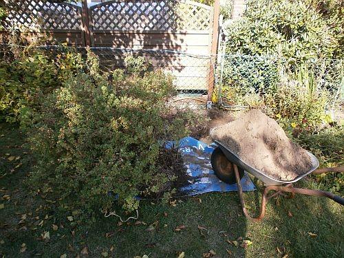 Zuerst wurde ein großer Busch ausgegraben und versetzt