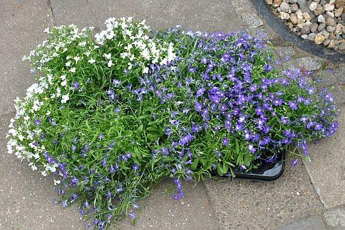 Zum bepflanzen wählten wir weißes und blaues Männertreu ...