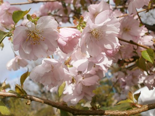 ... sehen in der Blütezeit April märchenhaft schön aus ...