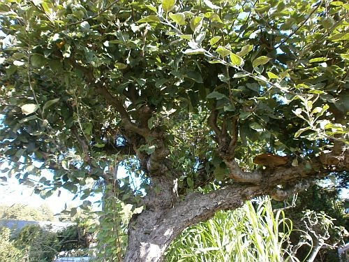 Die Zweige waren völlig verkrüppelt vom falschen Baumschnitt und vom Alter des Baumes