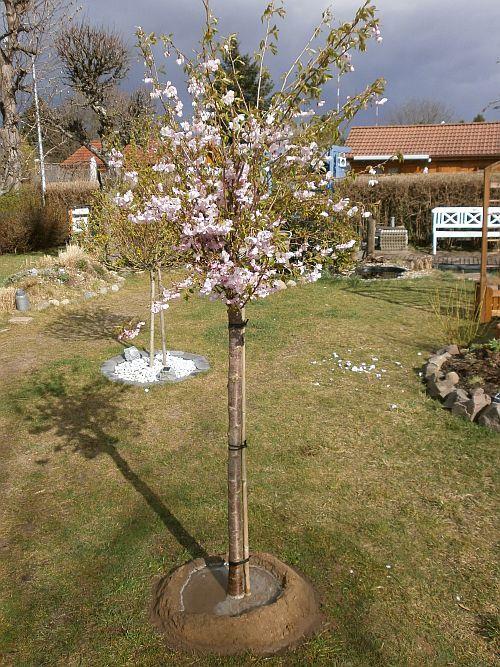 Am 31. März 2012 wurde die Zierkische von uns gepflanzt