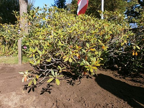 Ende September 2012 gruben wir drei Rhododenren der linken Hälfte aus ...