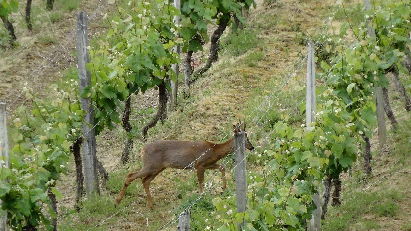 Un chevreuil dans les vignes de Saint Mont
