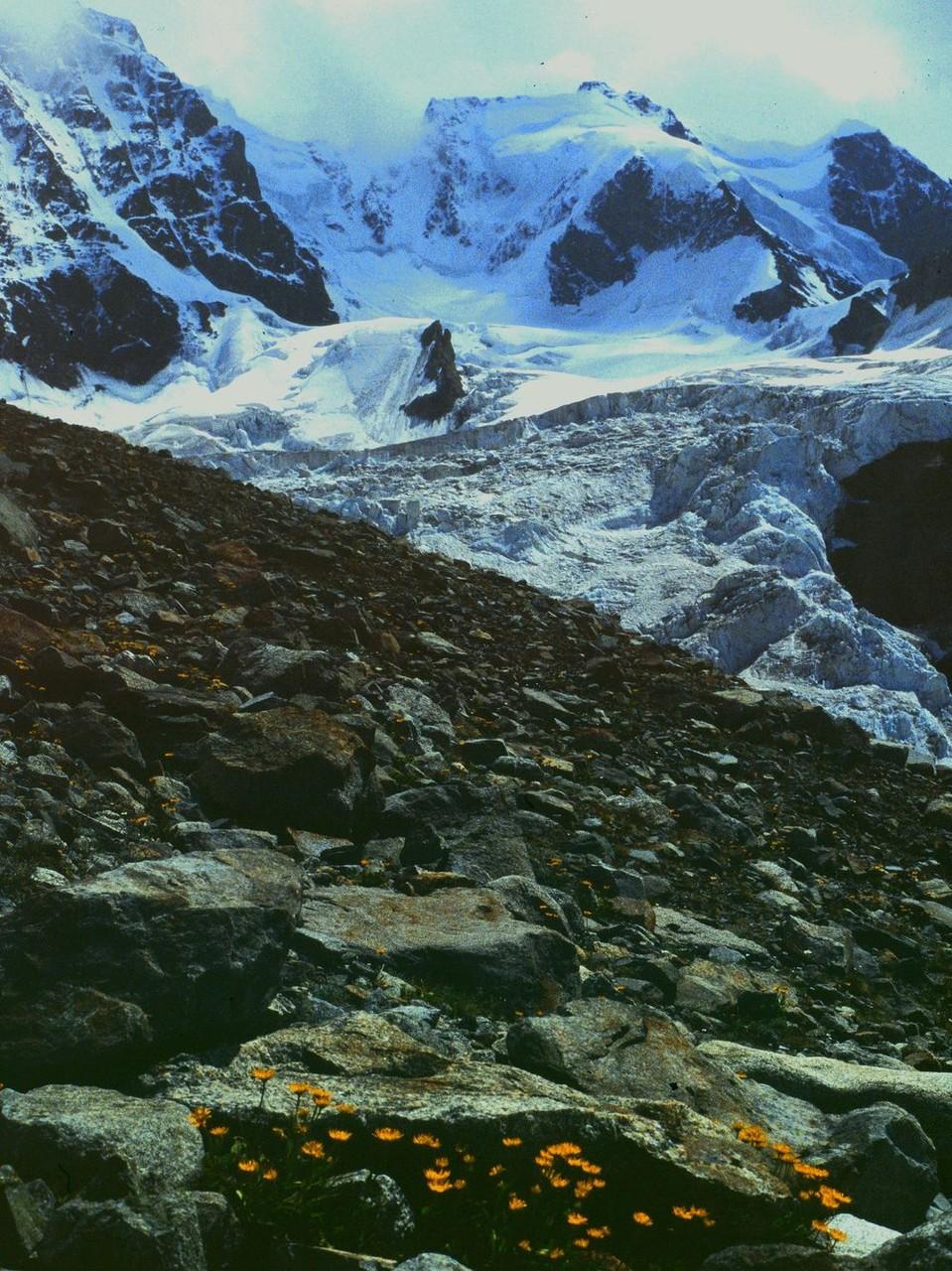 Gemswurz im Schutz von Felsblöcken. Wilder Gletscherwinkel zwischen Piz Bernina und Scerscen