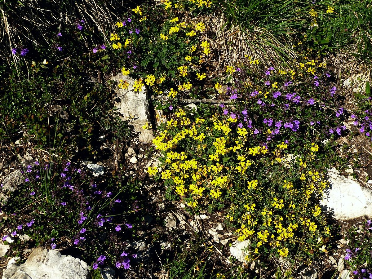 Steingarten mit gelbem Lerchensporn und Kölme am Weg zum  Almkogel
