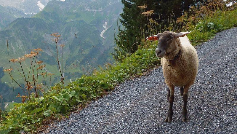 Ein Schaf auf dem Güterweg