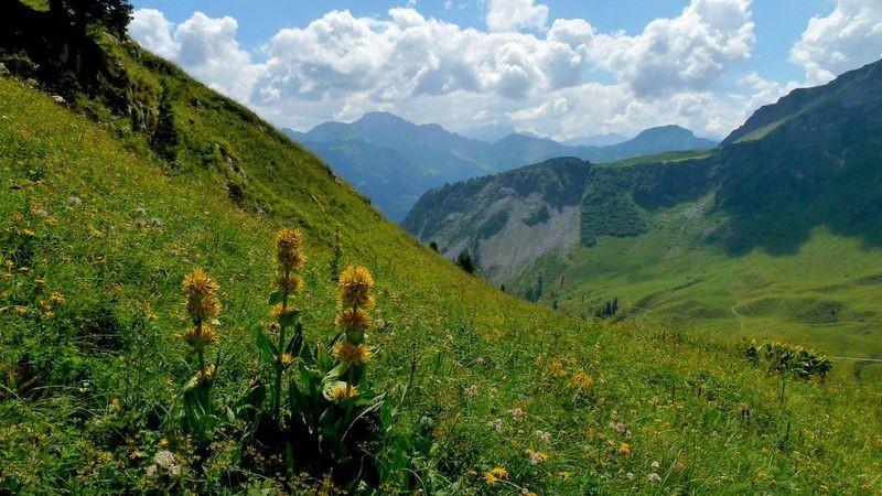 Der langstielige gelbe Enzian am Steig Holenke - Wurzachalpe