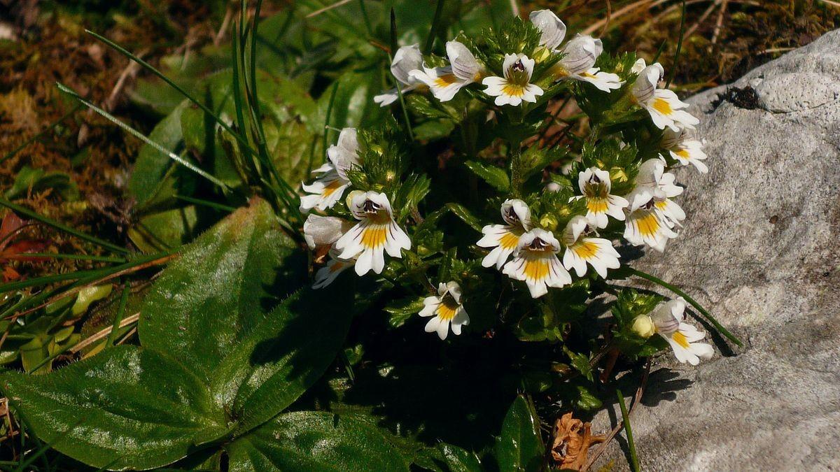 Blütenpolster am hinteren Gosausee