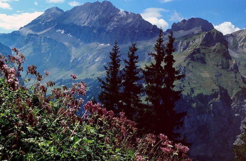 Alpendost und Lohnermassiv beim Abstieg von der Fisialp zum rechts abzweigenden Felsensteig  zur Doldenhornhütte