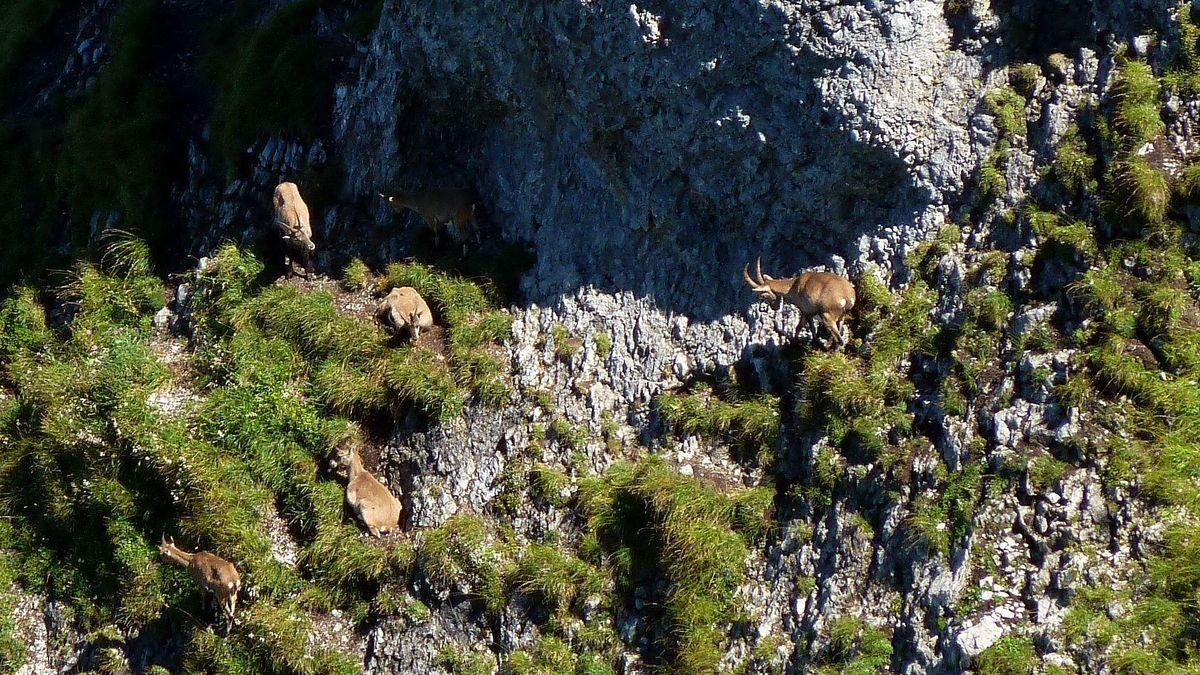 Steinböcke und Steingeißen in der Nordflanke der Kanisfluh