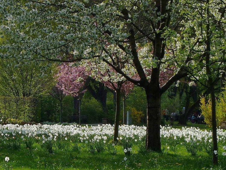 Narzissenwiese im Fürther Stadtpark