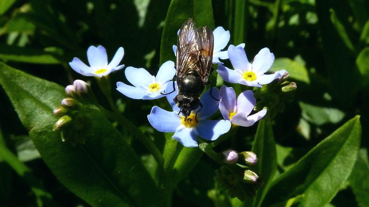 Fliege auf Vergissmeinnicht