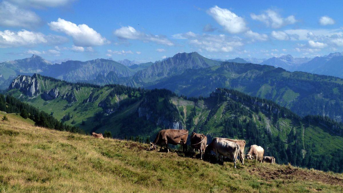 Foto von 08/2015: Weidende Kühe auf der Hinteren Niedere