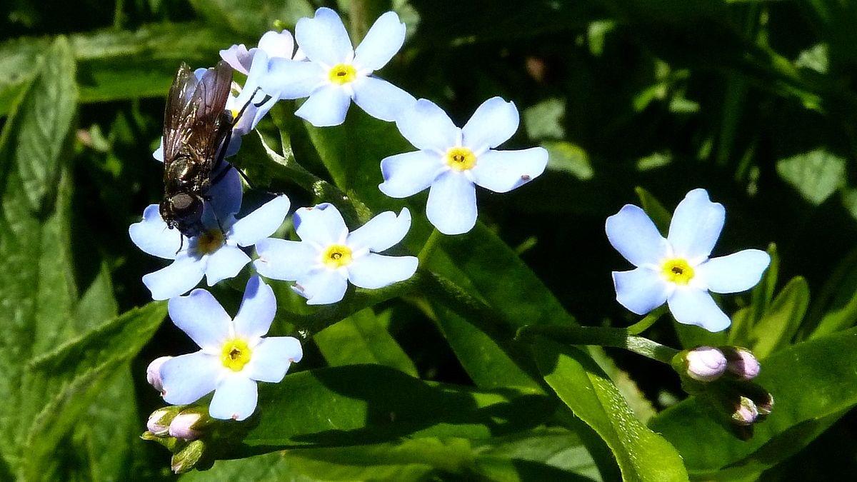 Fliege saugt Nektar an Vergissmeinnichtblüte