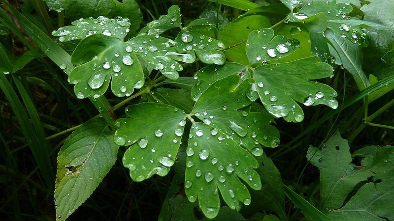 Regentropfen am Frauenmantel