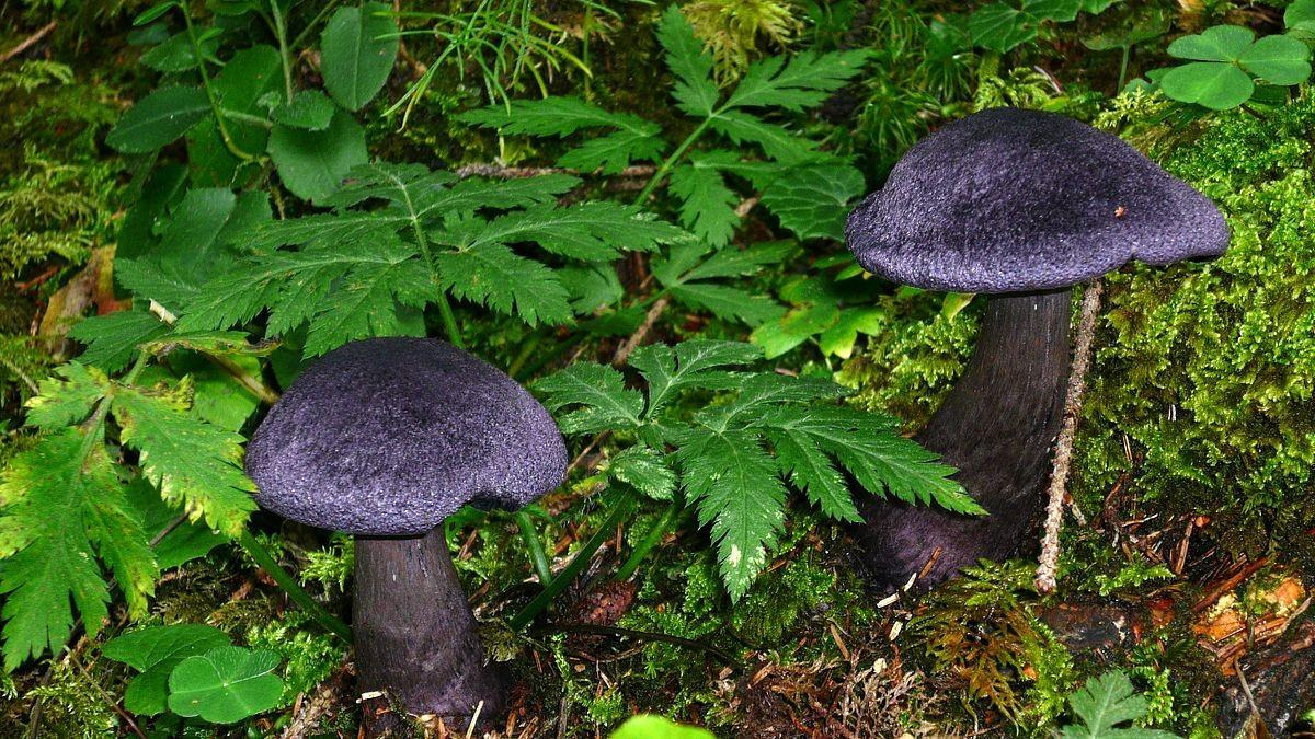 Zwei Exemplare des dunkelvioletten Dickfusses im Wald bei der Ebenalm