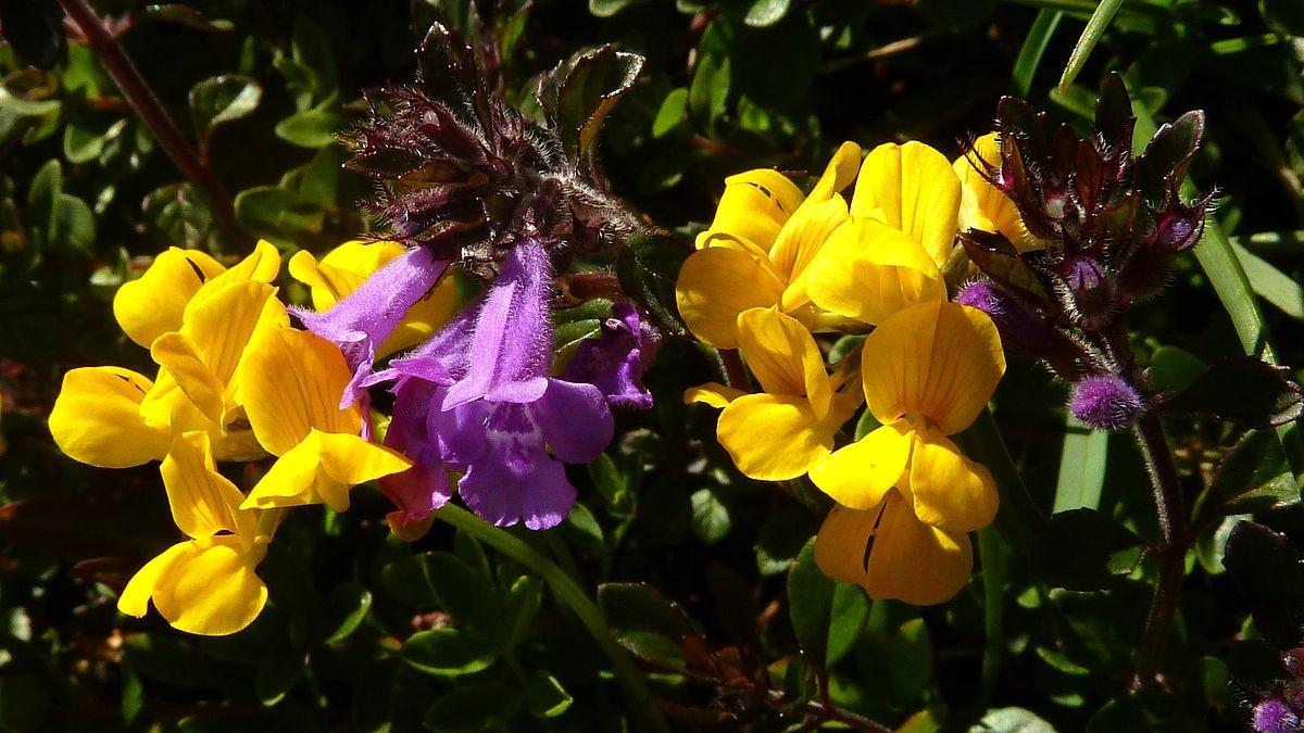 Gelber Lerchensporn und Alpenkölme