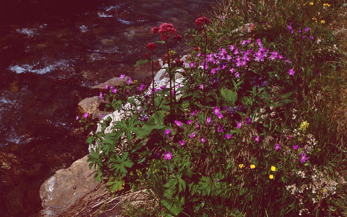 Blütenfülle an der Bregenzerache unterhalb der Juppenspitze