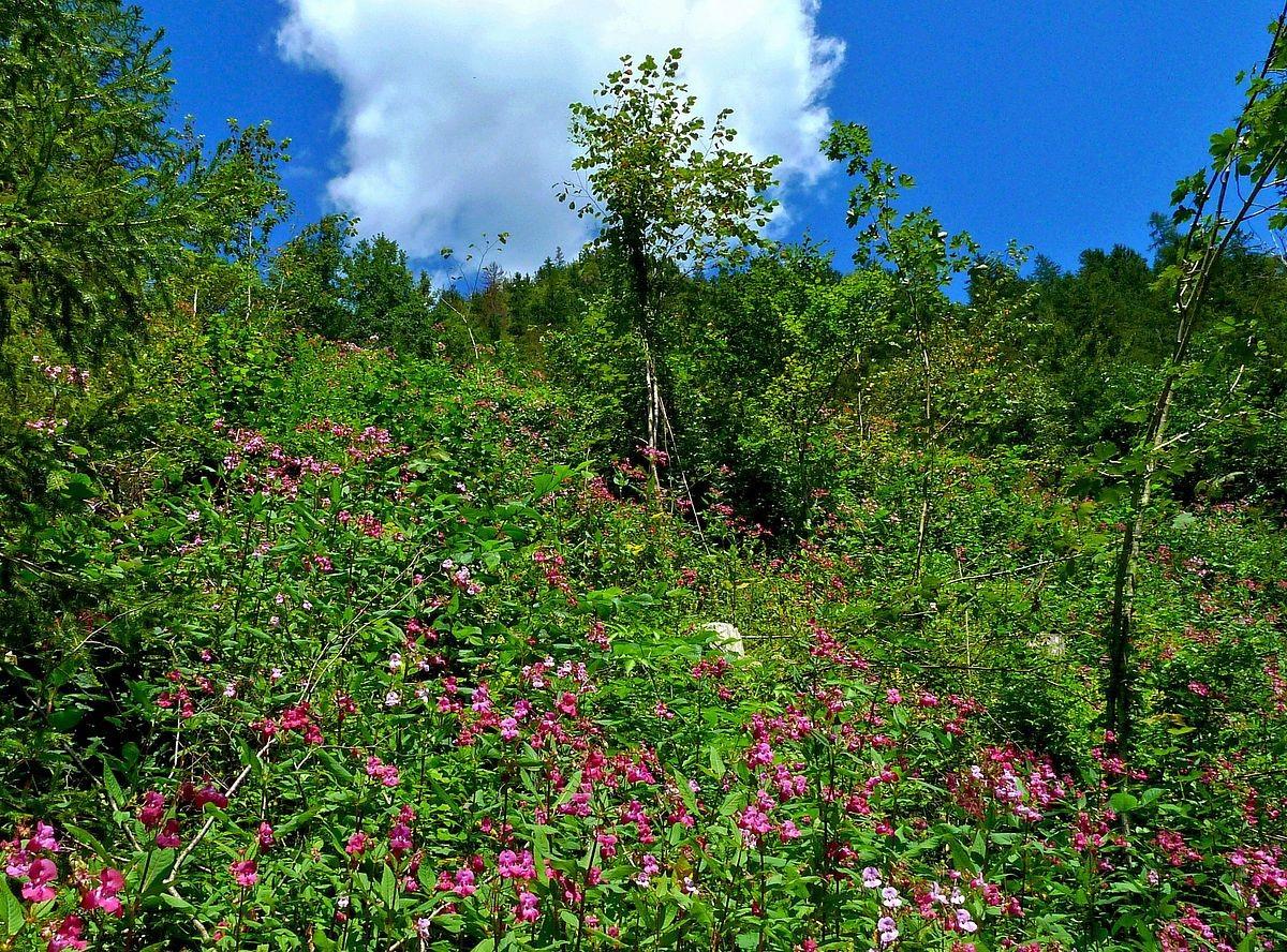 Rote Balsaminen am Hang neben dem GeoPfad Gams