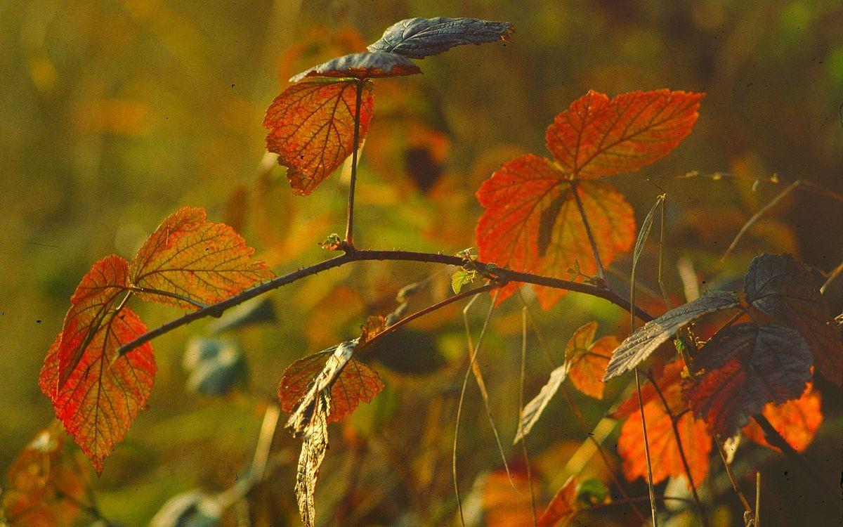 Herbstlich gefärbte Brombeerblätter am Weg zum Söllereck