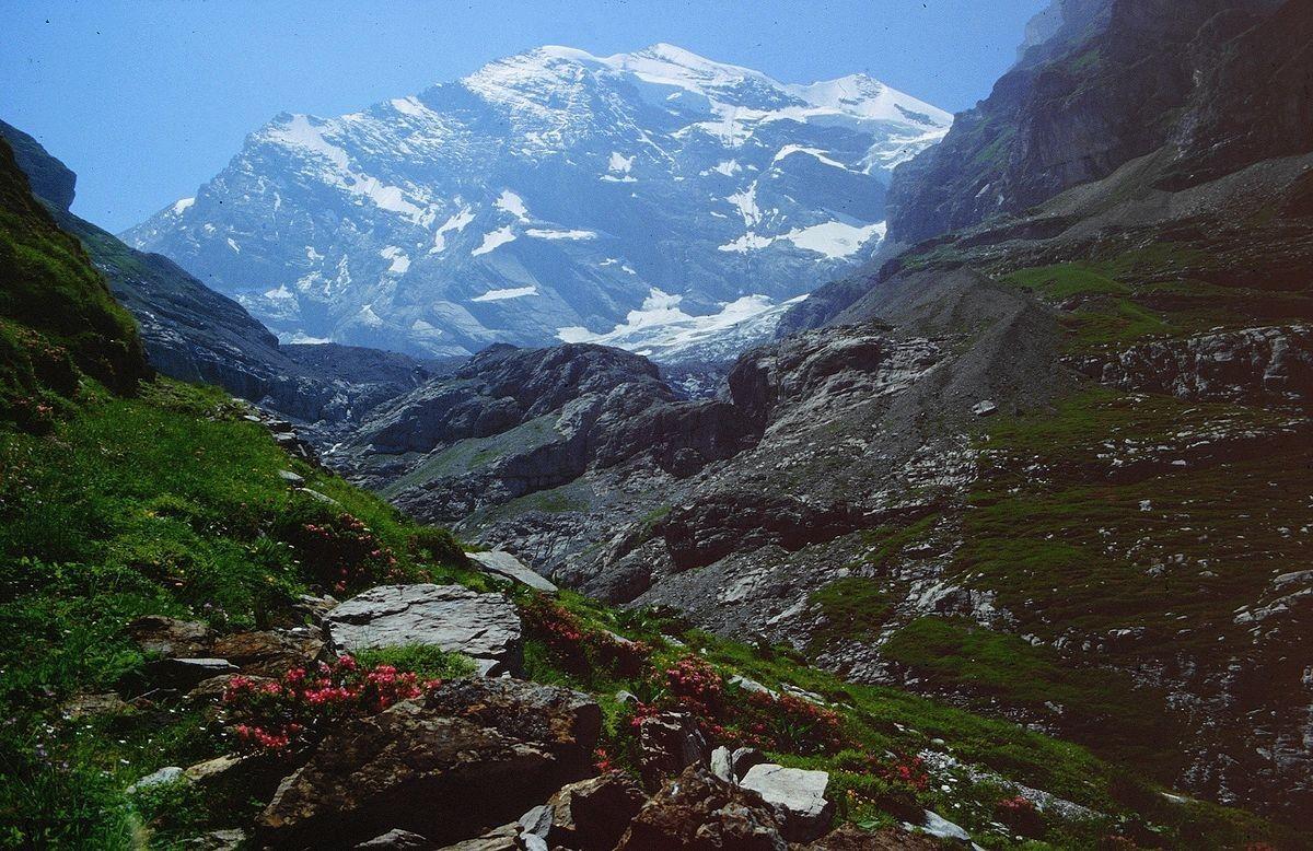 Blühende Alpenrosen im wilden Gamchi. Hinten das großartige Blümlisalpmassiv