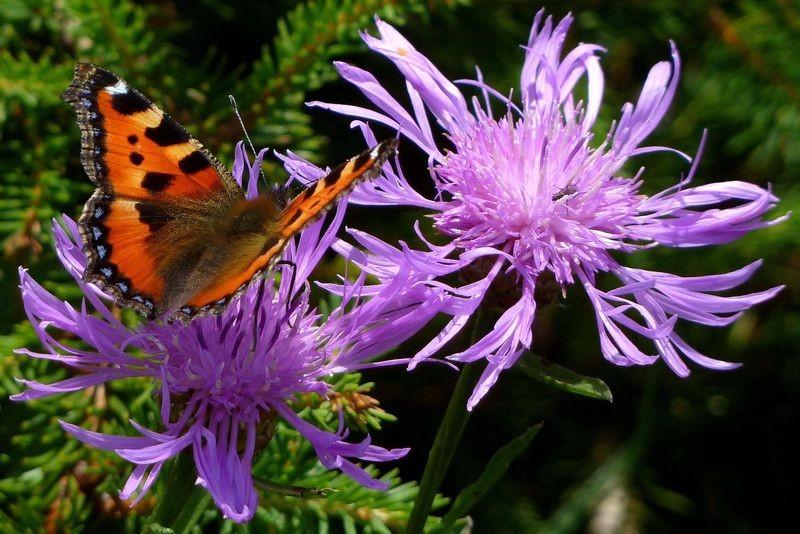 Kleiner Fuchs auf Flockenblume am Gipfel des Hochälpelekopfs