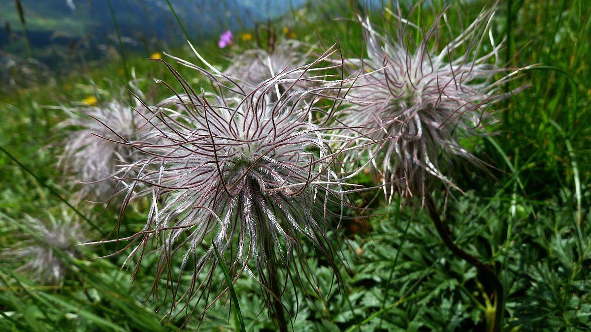 Bergmännle, abgeblühte Alpenanemonen auf der Holenke