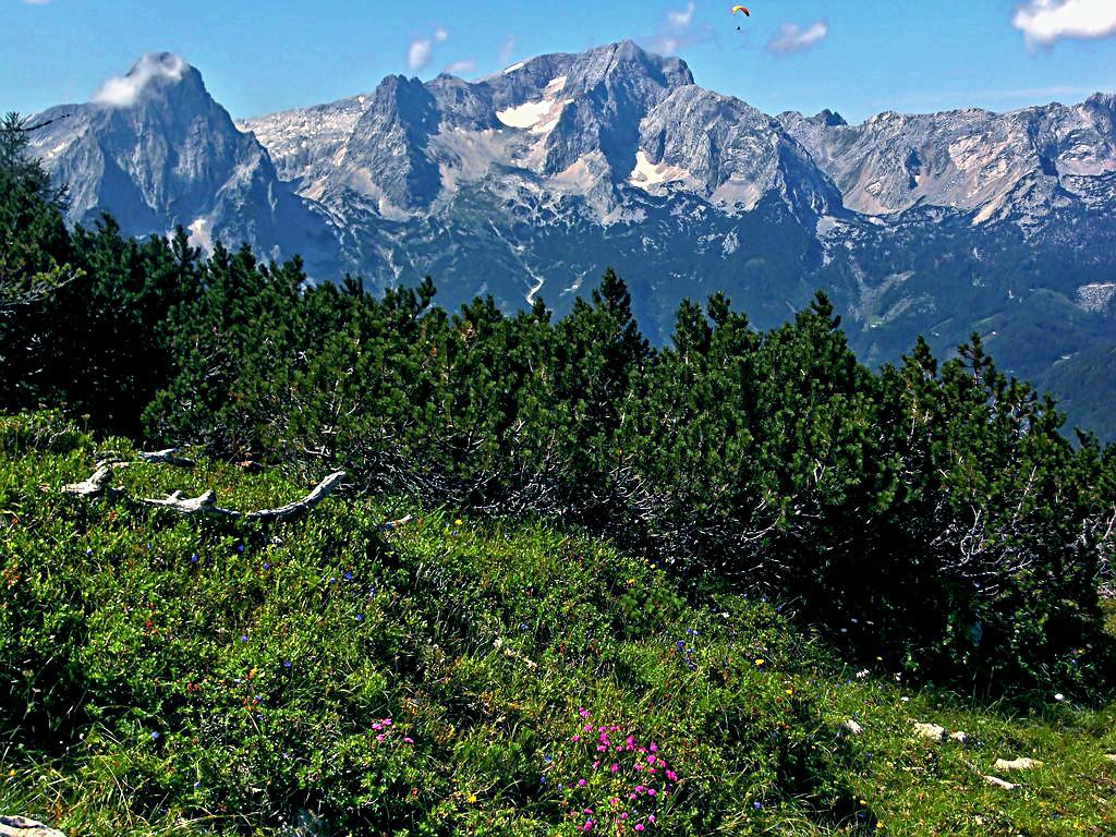 Alpenrosen und Latschen an den Rändern der Schafkögel