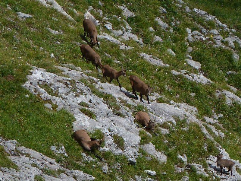 Steingeißen und Jungtiere im südseitigen steilen Gras- und Schrofengebiet unter und südöstlich der Holenke.