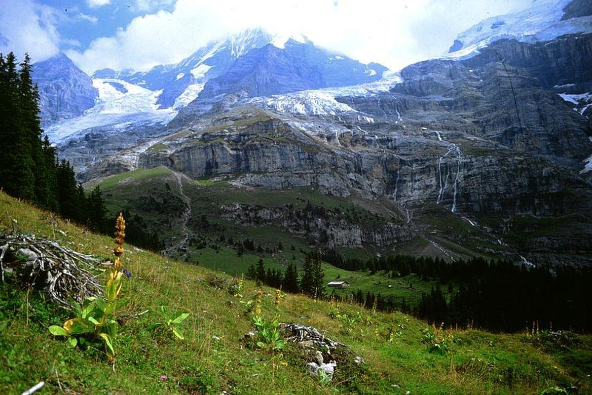 Gelber Enzian vom Gebiet der Mettlenalp. Hinten die Biglenalp. Eigergletscher, Mönch, Kühlauenengletscher, Jungfraujoch und Aufschwung zur Jungfrau.
