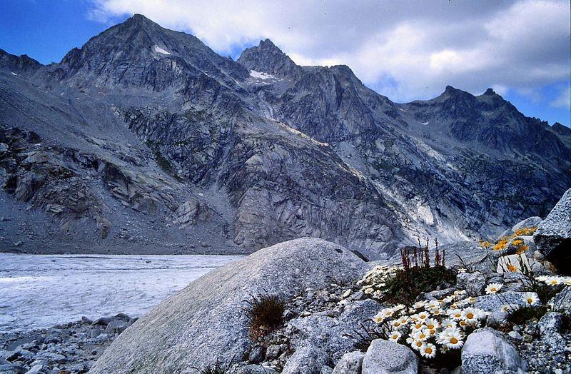 Foto von 1986: Alpenmaßliebchen am Steig vom Fornogletscher zur Fornohütte