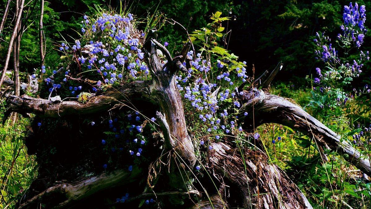 Glockenblumen auf dem Strunk eines umgefallenen Baumes am Wegrand.