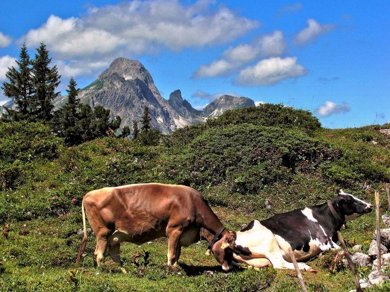 Kühe am Wegrand. Hinten Hochkünzelspitze.