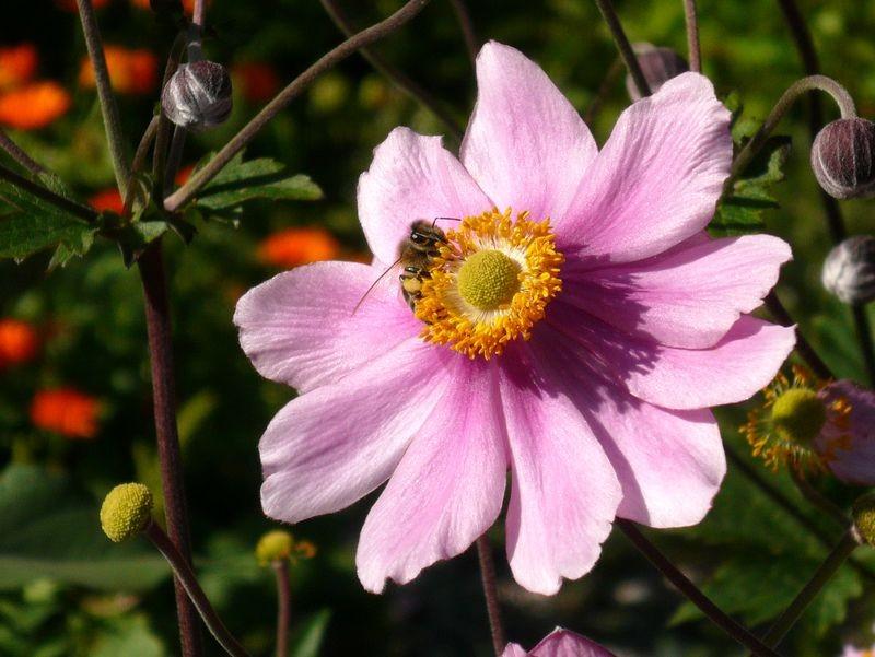 Blüte mit Biene in einem Garten bei Gößl