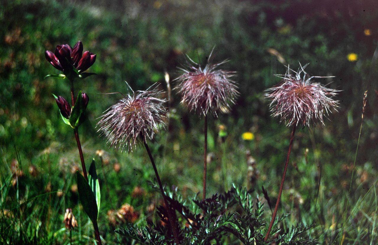 Purpurroter Enzian und Bergmännle (Fruchtstand der Alpenanemone)