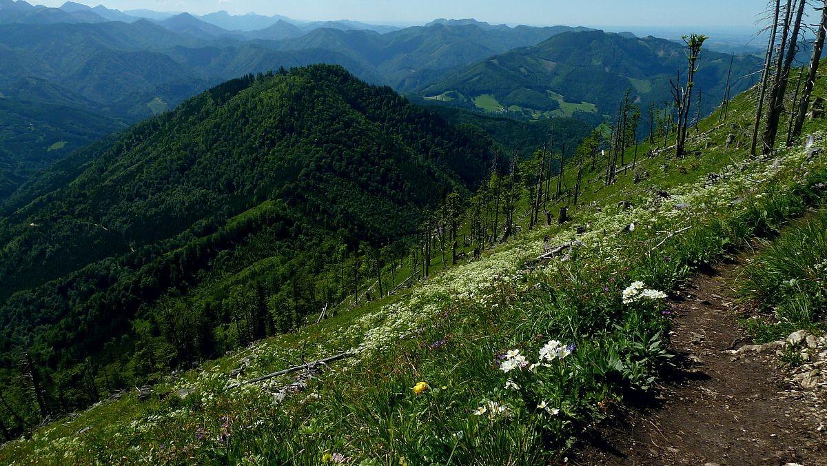 Nationalpark Kalkalpen vom Steig zum Almkogel mit Anemonen