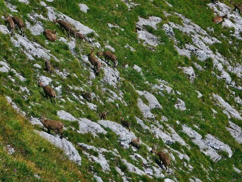 Steinwild, hauptsächlich Geißen und Jungtiere auf der Kanisfluh