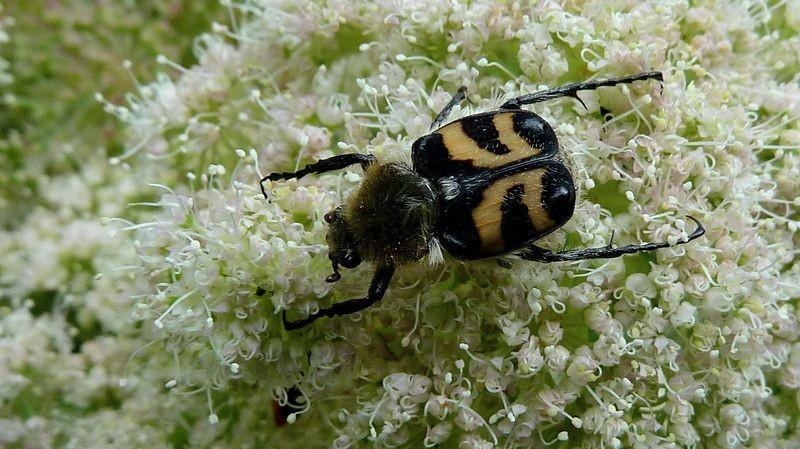 Interessanter Käfer auf einer Blütendolde.