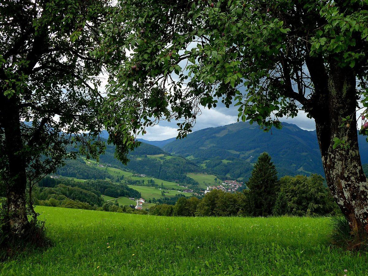 Blick zwischen Zwetschgenbäumen auf Weyer