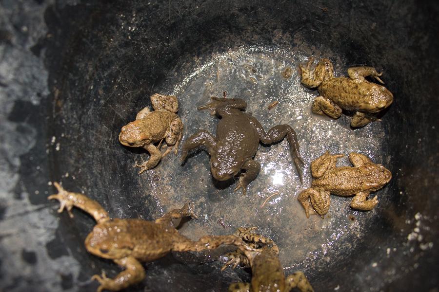 Erdkrötenmännchen (Foto: B. Budig)
