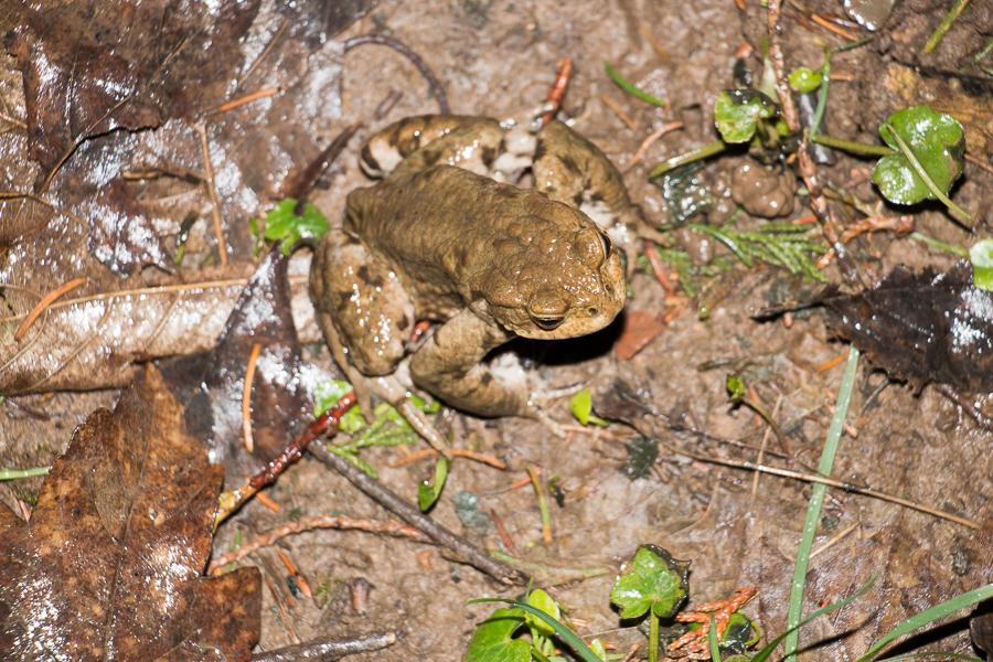Erdkröte auf der richtigen Zaunseite (Foto: B. Budig)