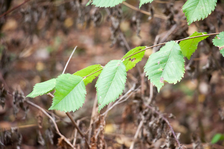Blätter einer Flatterulme (Ulmus laevis)